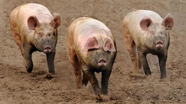 Swine Fever: Movement of pigs, pig products banned in Central Region