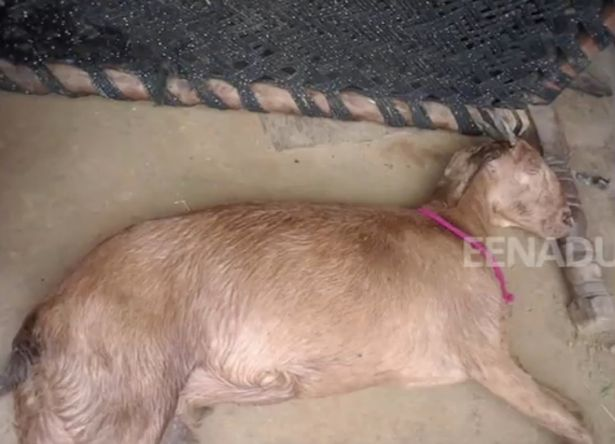 Pregnant goat dies after being 'gang-raped by eight men'